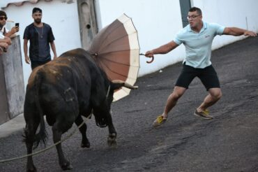 Tourada à corda – bulls in Terceira