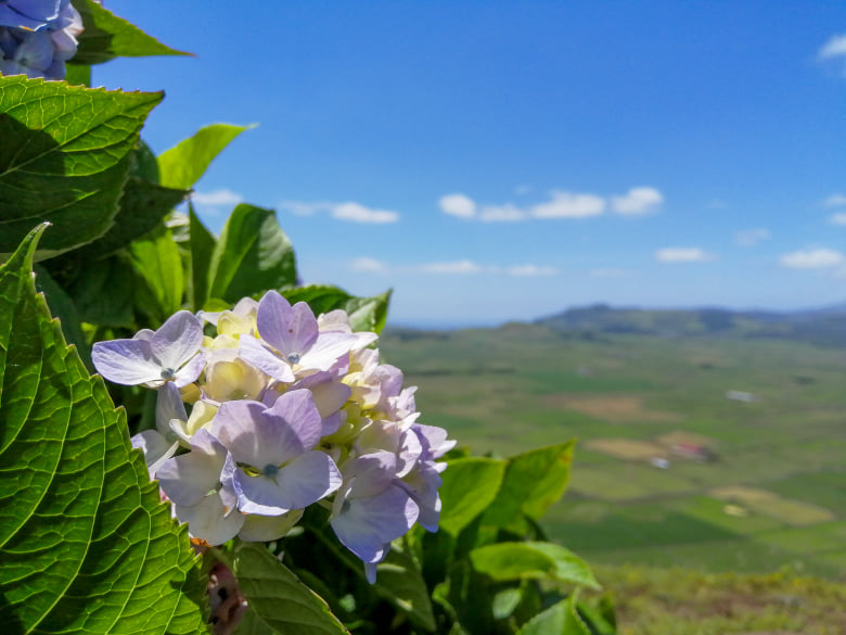 hortensje, hortensja, hydrangeas, Serra do Cume