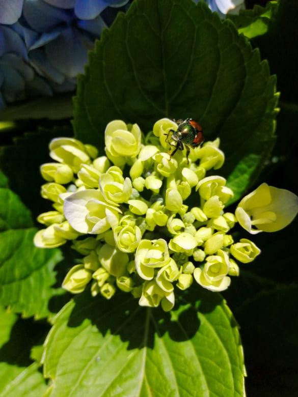 hortensje, hortensja, hydrangeas, biedronka, ladybird