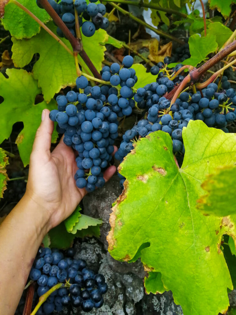 vindima, winobranie, grape harvest, harvest, winnica, vinha, vineyard, winogrono, winogrona, grape, grapes, uvas, uva, Biscoitos,