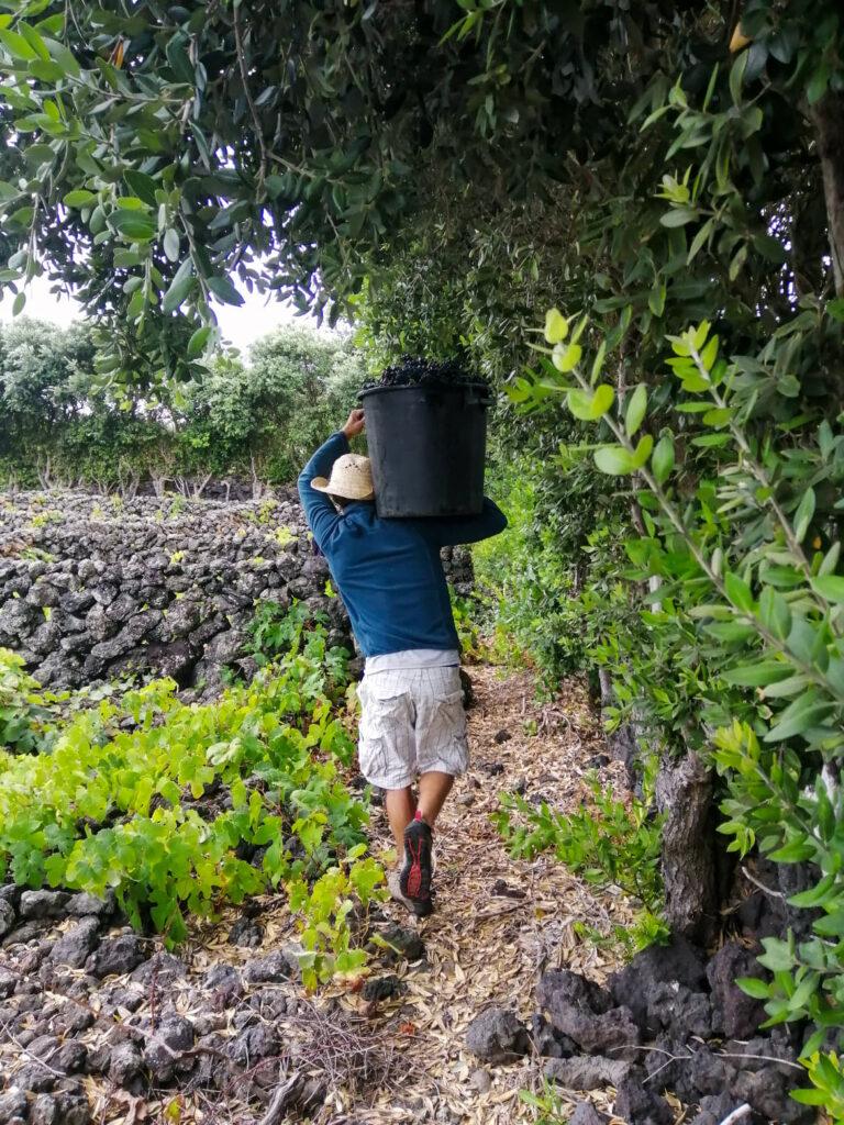 vindima, winobranie, grape harvest, harvest, winnica, vinha, vineyard, winogrono, winogrona, grape, grapes, uvas, uva, Biscoitos,