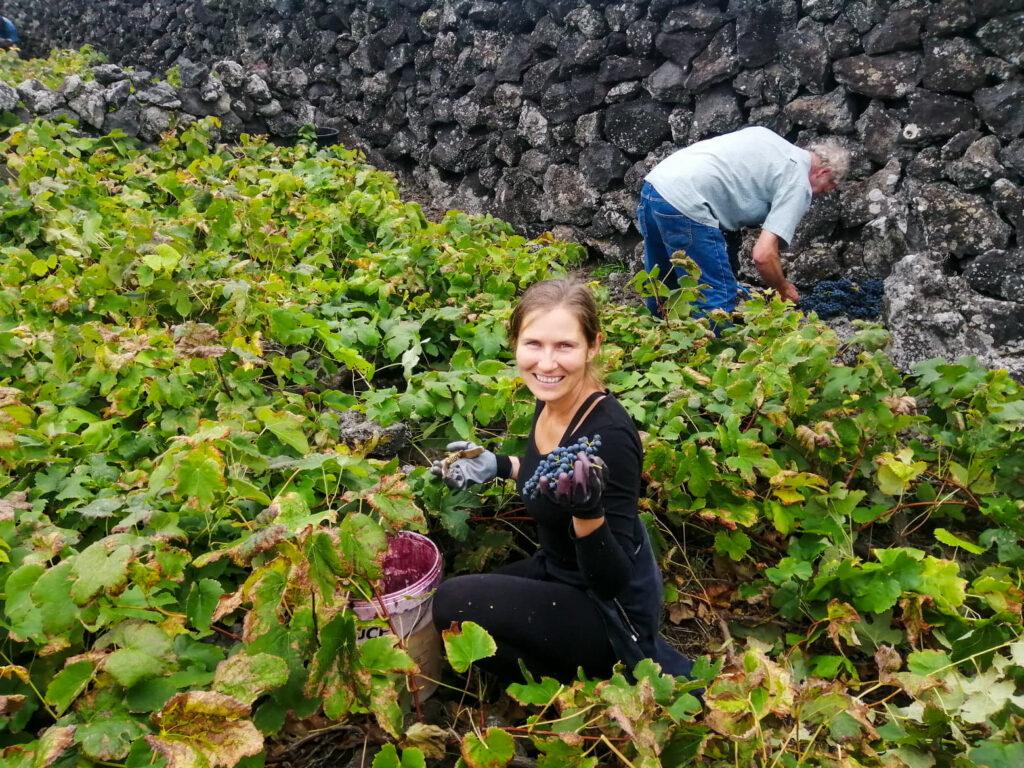 vindima, winobranie, grape harvest, harvest, winnica, vinha, vineyard, winogrono, winogrona, grape, grapes, uvas, uva, Biscoitos, Milena